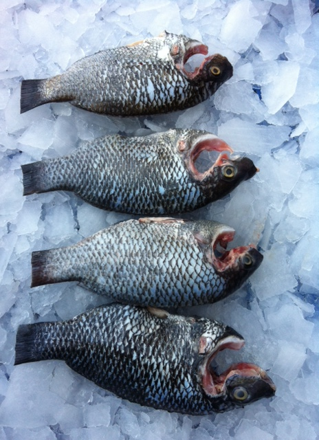 Tilapia ( Jilapi ) Whole - Cleaned ( Without Cut )